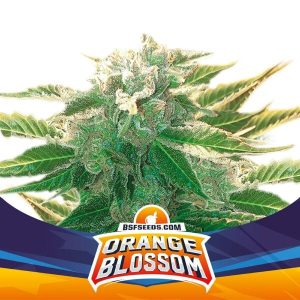 Orange Blossom XXL Auto